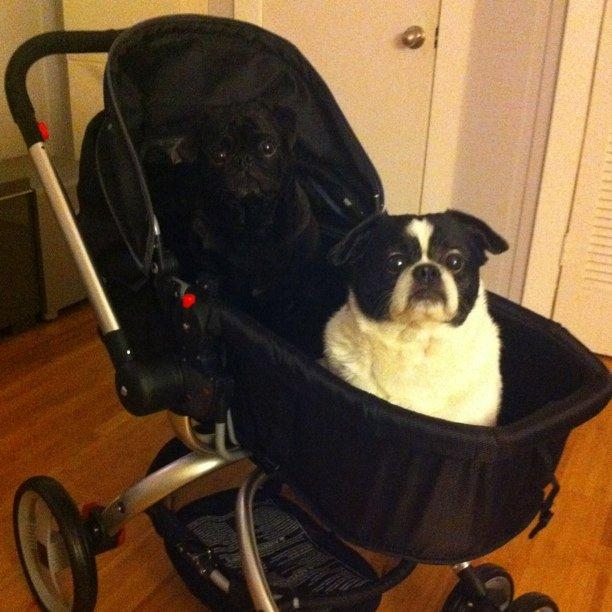 The dogs like the stroller!