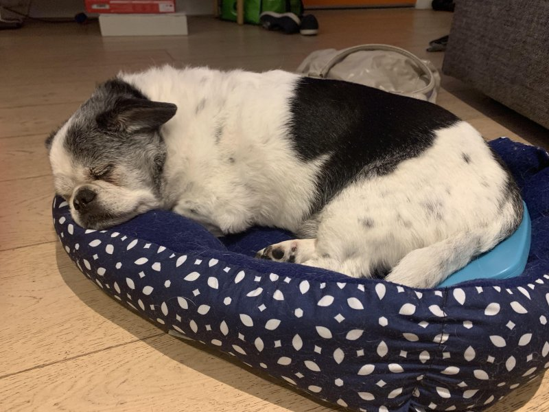 Winston resting last night 🐶